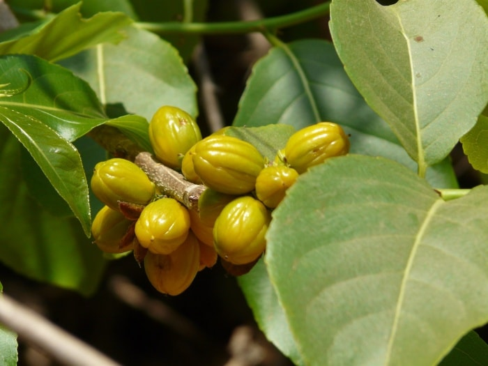 benefits of Salacia oblonga, Salacia Reticulata for Weight Loss