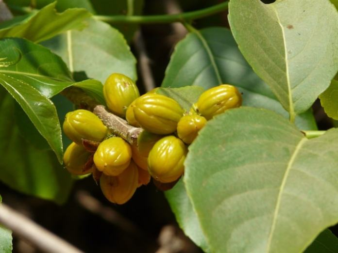 benefits of Salacia oblonga