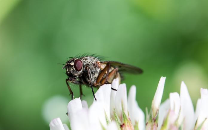 What flies do when they stay on our foods