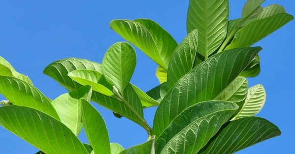 guava-leaves health benefits of guava leaves