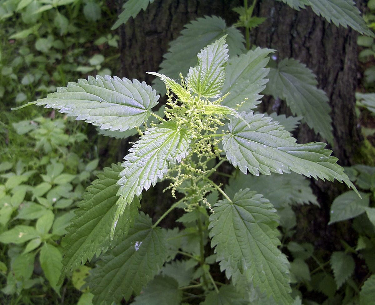 13 Amazing stinging nettle benefits (Urtica dioica)