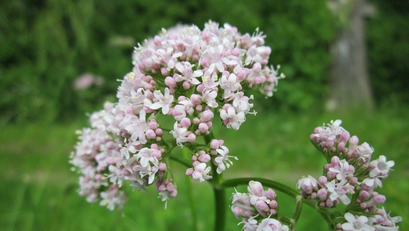 benefits of valerian essential oil
