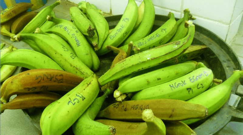 Benefits of Green Banana or Plantain   HealthnCure.org