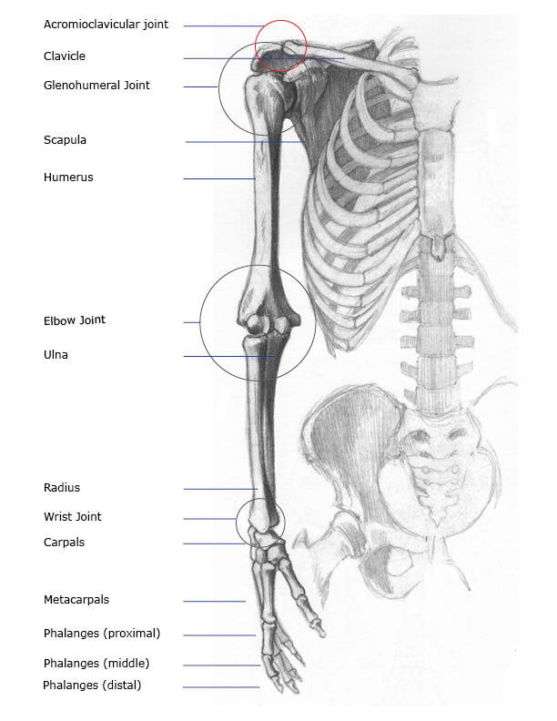 forearm bones diagram farmall super c 12 volt wiring arm joints front anterior and back posterior anatomy views the
