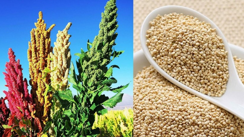 Quinoa Benefits in Hindi