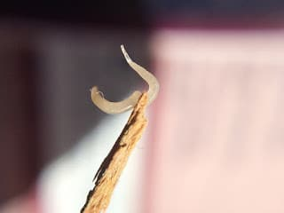 Pinworm, Thread- Worm (EnterobiusVermicularis)