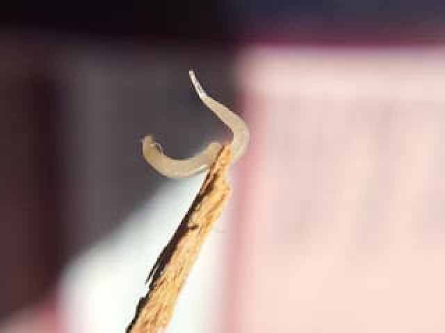 Pinworm, Thread- Worm (EnterobiusVermicularis)