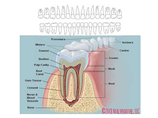 Why Your teeth are so vital to your health