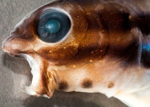Scientists Discover Fish That Has Venom Similar To Heroin