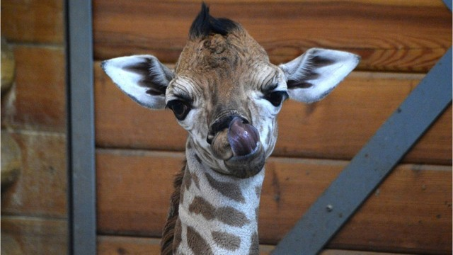 What's New about April the Giraffe's Baby