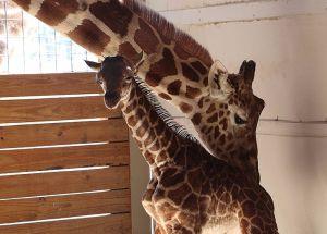 April the Giraffe's Pregnancy Boosts Tourism in Harpursville