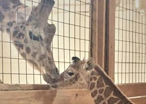 Meet April the Giraffe and Tajiri in Person