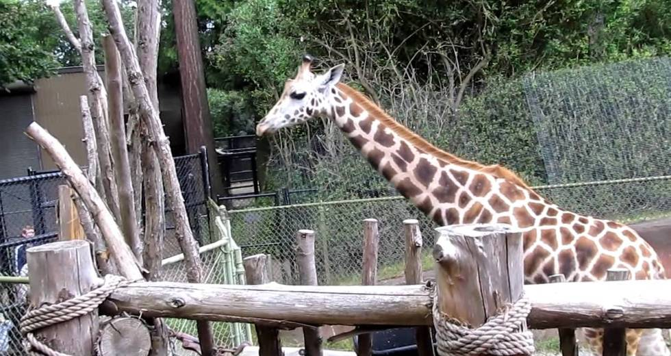 Woodland Park Zoo Giraffe Gives Birth