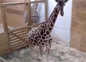 Meet April the giraffe's Calf, the adorable 2 weeks old baby giraffe