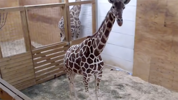 Meet April the giraffe's Calf, the adorable 2 weeks old baby giraffe
