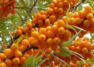 The Amazing Healing Effects Of Sea Buckthorn