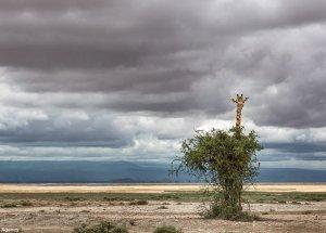 This Giraffe Fails at Hide and Seek