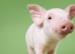 Genetically Modified Pigs Are Putting An End To The Organ Shortage Crisis