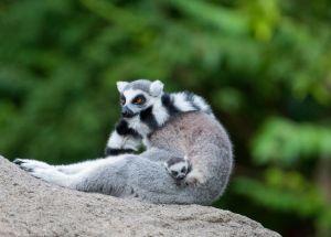 Newborn Lemur Babies From The Cincinnati Zoo Will Melt Your Heart
