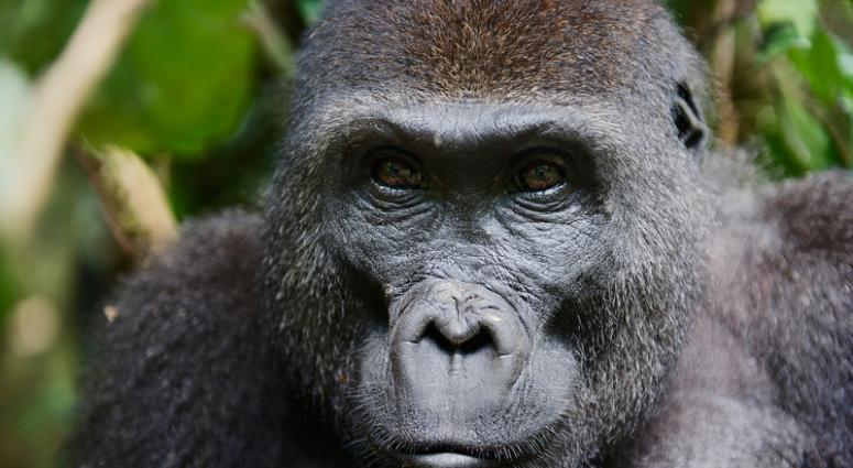 Sick Gorilla Dies Of Cancer At Topeka Zoo