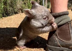 Cute Wombat Playing With His Unusual Friend Will Melt Your Heart