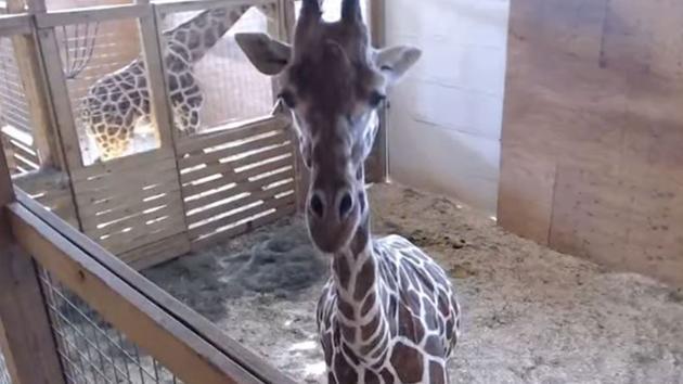April the Giraffe Is Pregnant Again But PETA Disapproves