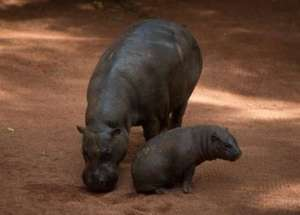 The Hippo Deaths from Bwabwata National Park Were Caused by Anthrax