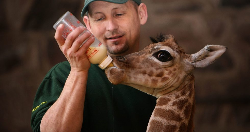 A Baby Giraffe Dangled With Its Head-Down While Being Born
