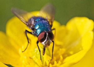 Flies Carry a Lot More Germs than is Was Previously Known