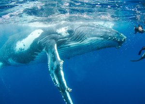Giant Humpback Whale Saved Biologist From Shark Attack