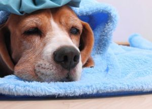 What Are The Symptoms of Dog Flu?