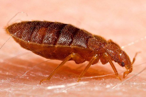 Bed Bugs Can Get You Sick Even After You've Exterminated Them