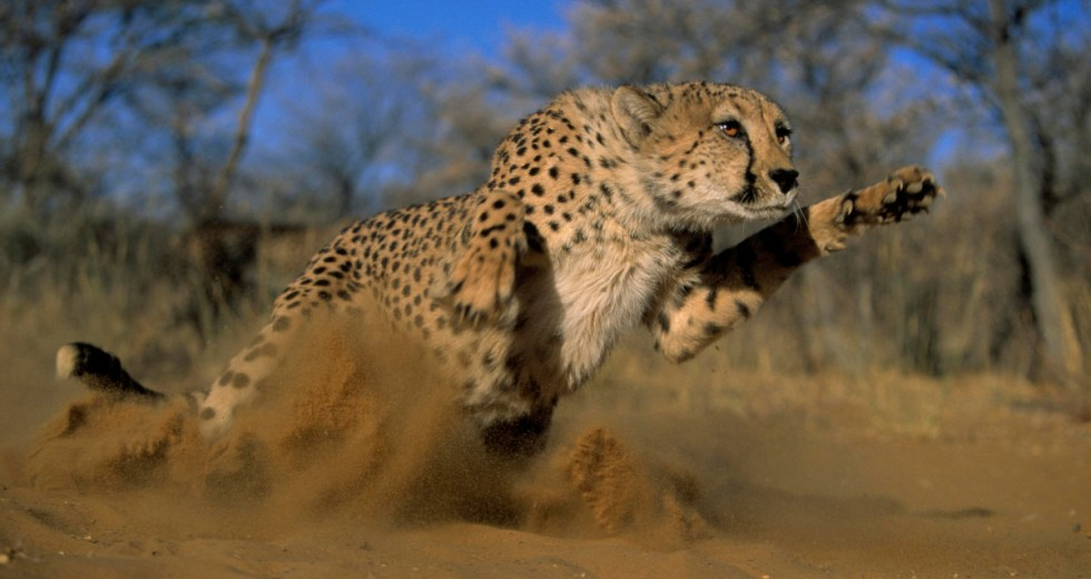 Here's How Cheetahs Manage to Run as Fast as They are Doing It Now