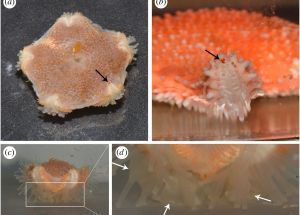 Researchers Discovered Starfish with Eyes
