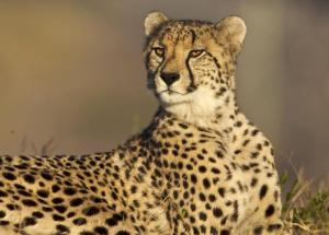 The Cheetah Runs Fast Because Of Its Ears But These Other Animals' Ears Are Also Not Only For Hearing