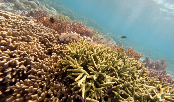 Coral Reefs May Die Due To Increasing Oceans' Acidity
