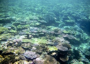 The Coral Reef Of Yaeyama Archipelago In Japan May Extinct