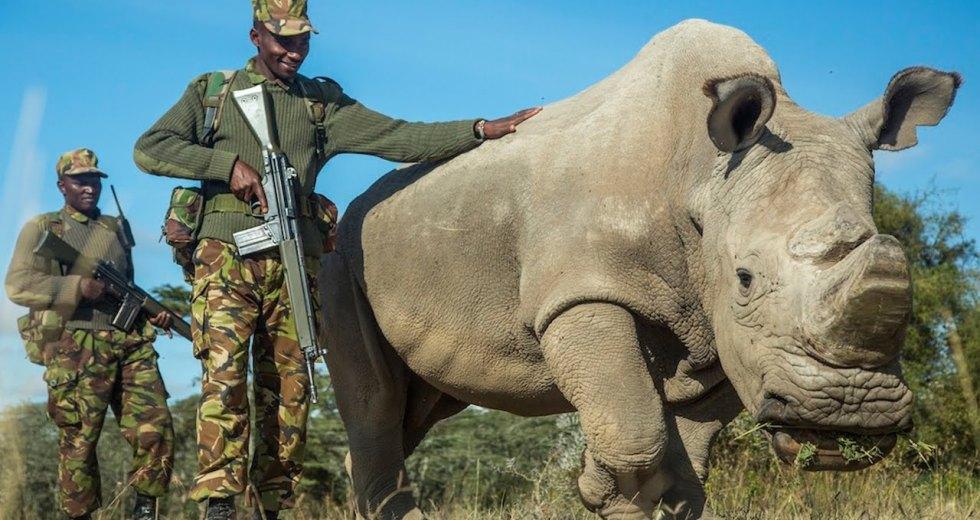 The Last Northern White Rhinoceros Male Might Die