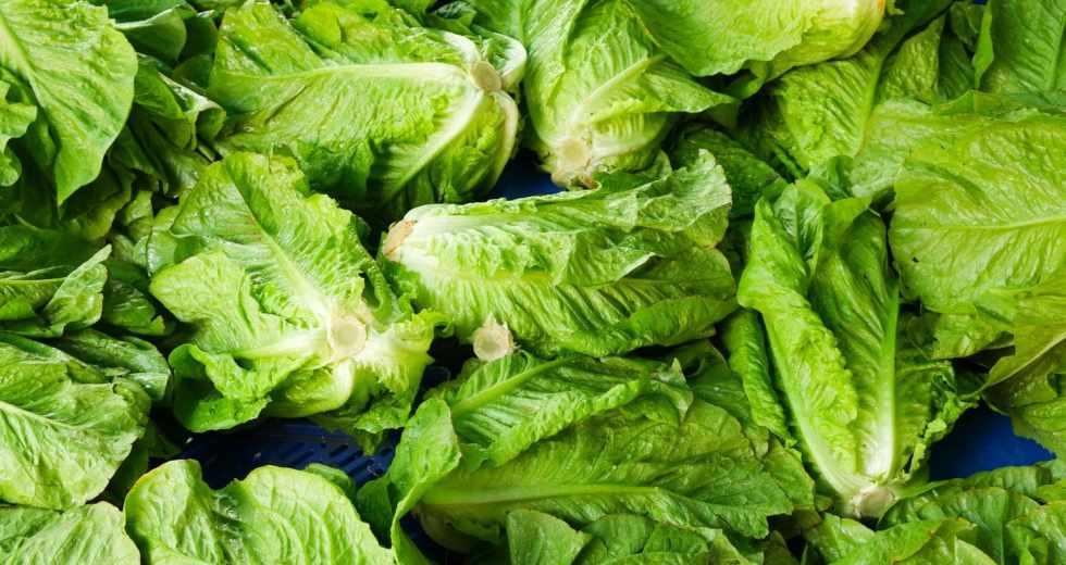 How did E. coli get on Romaine Lettuce? FDA still Baffled