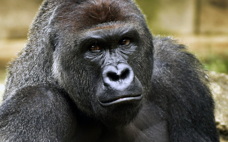 Intestinal Microbiota Studied From Gorilla Feces Could Lead To A Healthier Human Diet