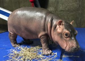 """Saving Fiona"", The Book That Tells The Story Of The Cincinnati's Most Loved Baby Hippopotamus"