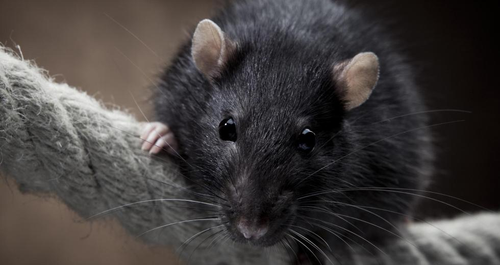 Recent Findings Reveal that Rats can Seriously Affect the Island Ecosystems