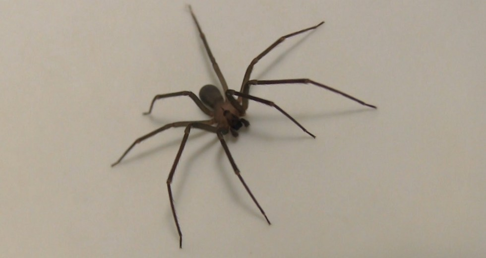 Woman Finds Dozens of Brown Recluse Spiders After Bitten By One