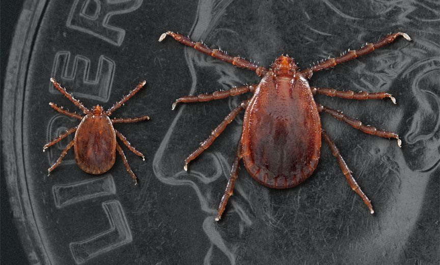 A New Tick Species is Taking over the U.S.