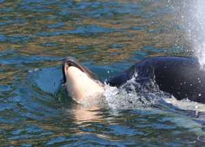 An Orca Carried Her Dead Calf on an Emotional, Weekslong Journey