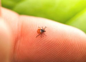 How to Safely Remove a Tick and Avoid Lyme Disease?