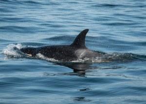 Wild Killer Whale Receives Antibiotics