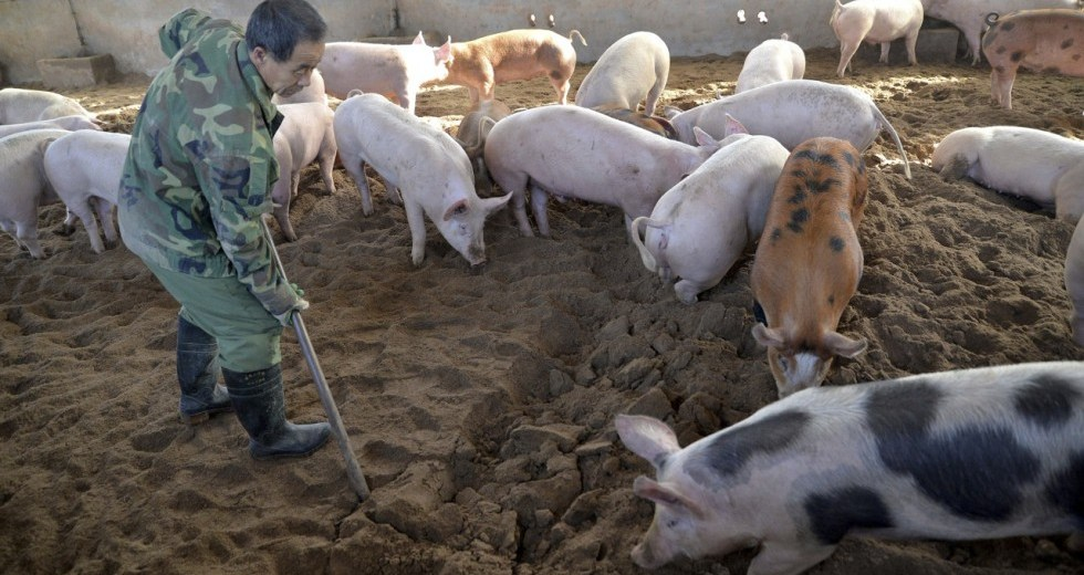 African Swine Fever Outbreak In China Could Cross Borders To Neighboring Countries