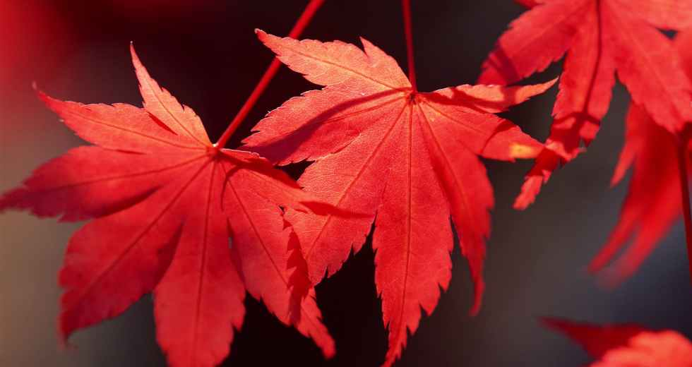 Maple Leaf Extract Might Be The Secret To A Wrinkle-Free Skin