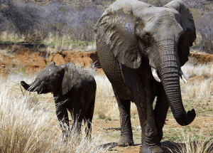 """""""Zombie"""" Gene Is What Protects The Elephants From Cancer"""